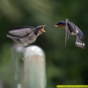 Swallows Feeding