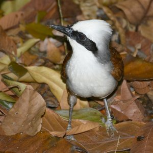 White-Crested Laughingthrush.jpg